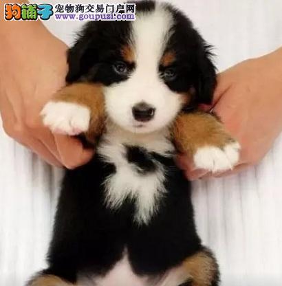 瑞士伯恩山犬幼犬朝阳繁育出售温顺热情的大型犬易驯养