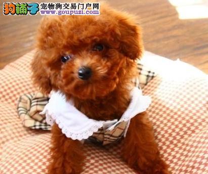精品泰迪卷毛小贵宾贵妇犬幼犬北京出售公母全有