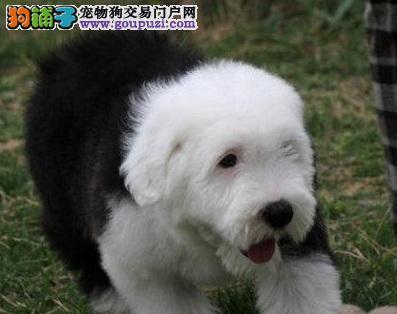古牧幼犬哪里有卖白头通背双杏眼体态完美保健康包疫苗