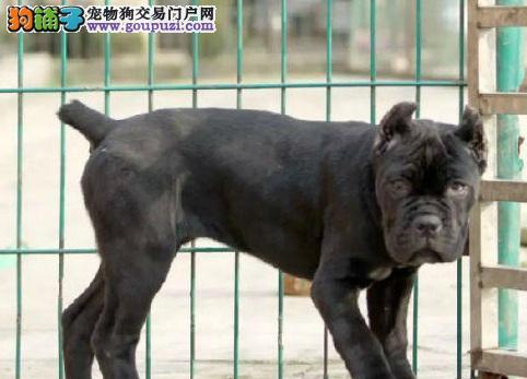 武汉专业的卡斯罗犬犬舍终身保健康期待您的咨询