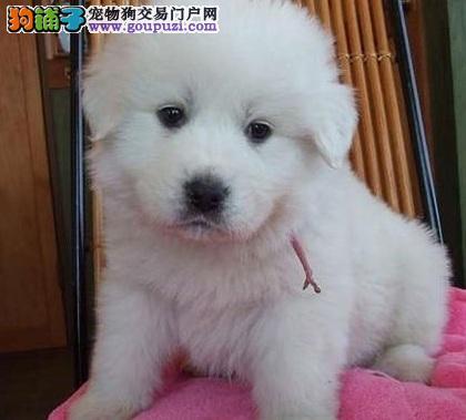 保山市出售大白熊犬 比利牛斯山犬