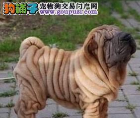 天津出售高品质沙皮狗幼犬血统纯正体型完美健康纯种