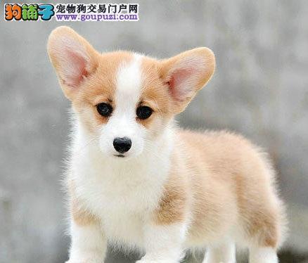 哈尔滨出售极品柯基幼犬完美品相签正规合同请放心购买