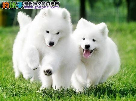 重庆渝北区出售微笑天使萨摩耶 纯种萨摩耶幼犬