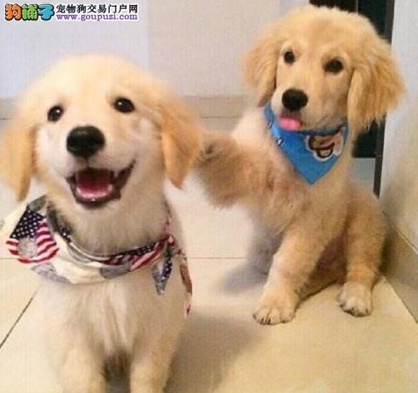 南京狗场活动特价优惠出售金毛犬 带健康血统证书