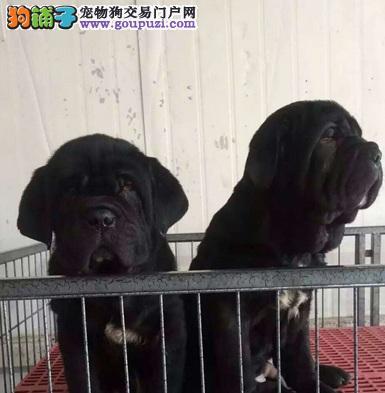 南昌实体店低价促销赛级卡斯罗犬幼犬签订合法售后协议