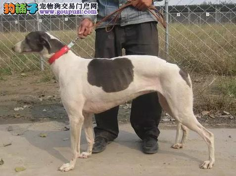 南昌出售极品格力犬幼犬完美品相微信咨询看狗狗视频