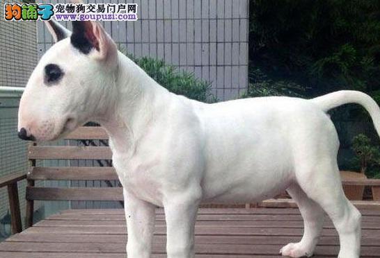 高品质牛头梗幼犬,假一赔十品质第一,提供养护指导