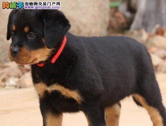 富贵之家出售罗威那幼犬,喜欢的朋友来看看1