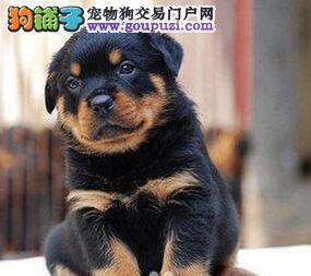 精品德系罗威纳幼犬 看家护院首选 上门选购2