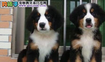 自家狗场繁殖直销伯恩山幼犬最优秀的售后