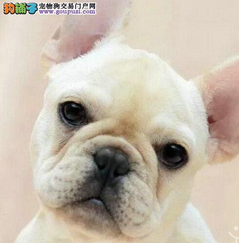 昆明出售高品质法国斗牛犬 保证健康一年免费治疗
