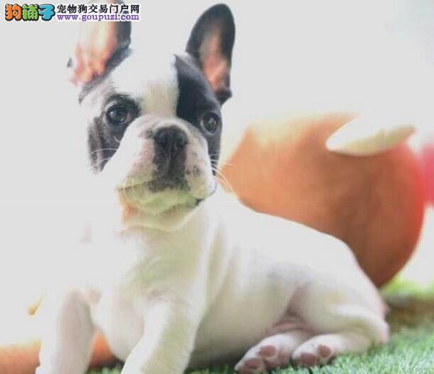 精品赛级法国斗牛犬出售引进种犬大头版短毛犬