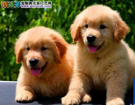 正宗优秀大骨架武汉金毛犬转让 所有犬只保证品质