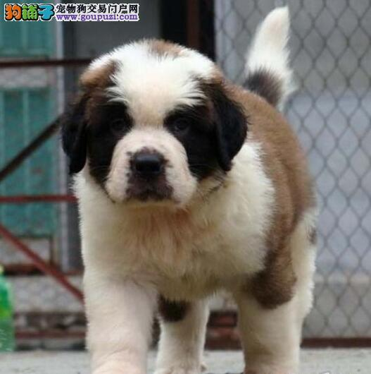 出售圣伯纳幼犬血统纯正品相优良3