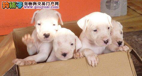 出售纯种健康的杜高犬幼犬签署质保合同