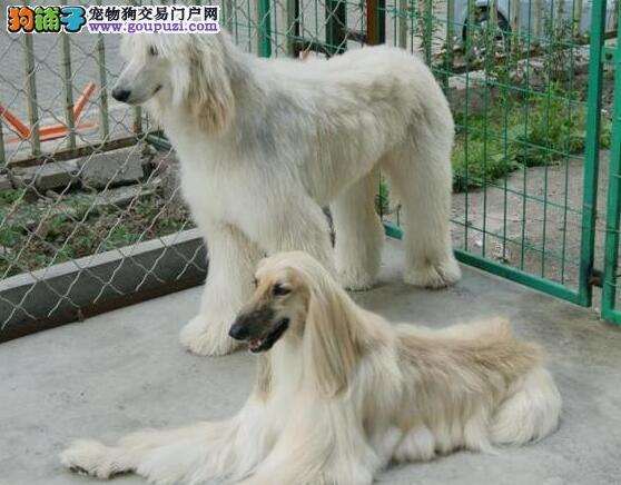 纯种健康阿富汗猎犬出售 签协议质量三包 饲养指导