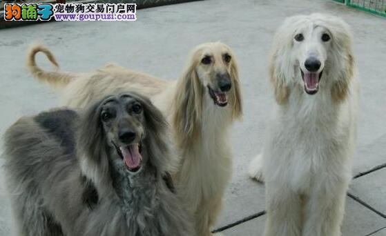 极品纯正的阿富汗猎犬幼犬热销中品相一流疫苗齐全