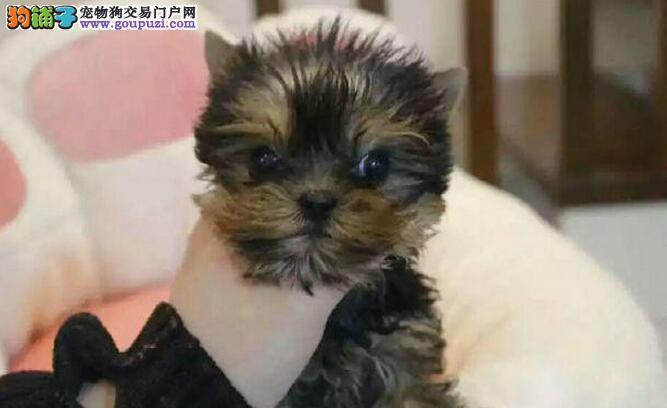 犬场出售约克夏、拉不拉多、松狮、杜宾、古牧幼犬