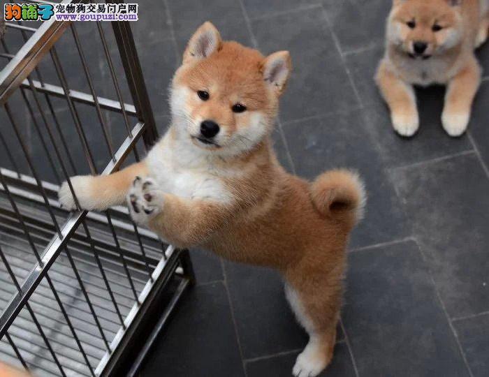 柴犬最大的正规犬舍完美售后我们承诺售后三包