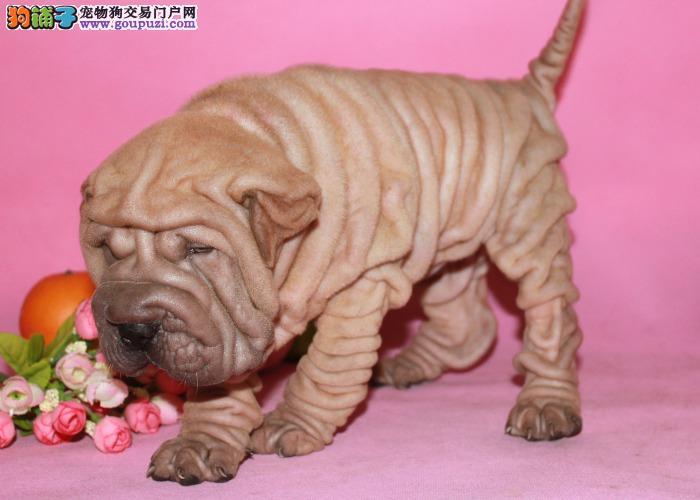 沙皮图片 买纯种宠物狗狗 超越狗场出售纯种沙皮幼犬