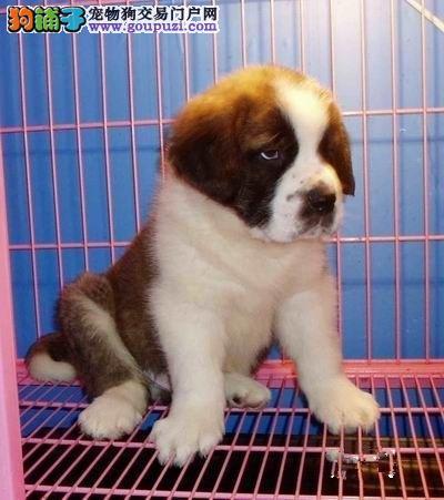 CKU认证纯种犬基地繁殖圣伯纳 冠军级血统健康质保