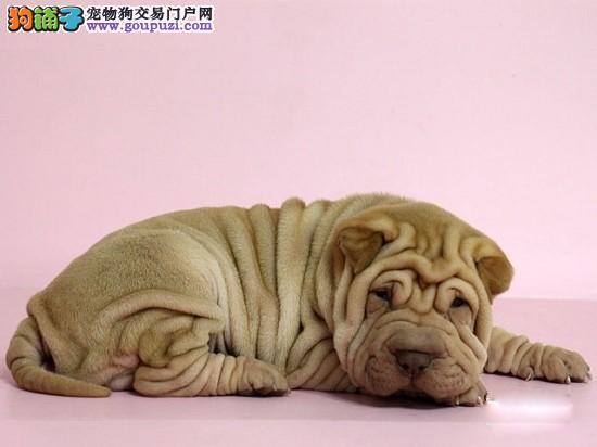 犬舍出售纯种沙皮犬*提供售后服务