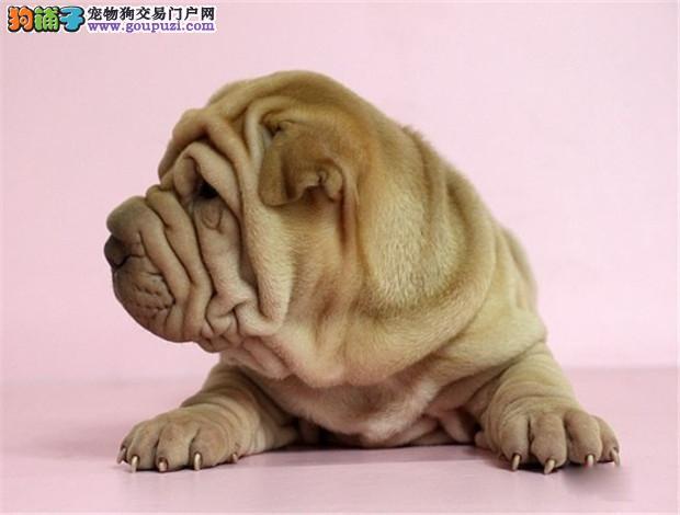 天津超级可爱的纯种沙皮犬出售保证健康纯正