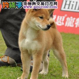 专业繁殖纯种郑州柴犬疫苗齐全国际血统证书