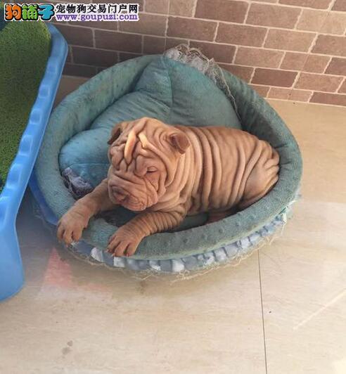 琼中正规繁殖基地出售纯血统高品质沙皮狗幼犬可见父母