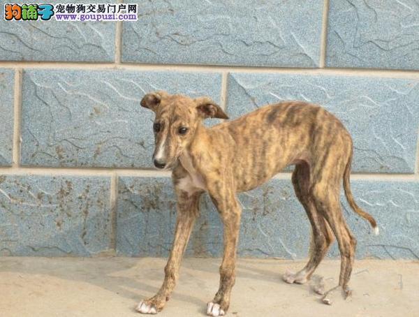 最大的格力犬基地 完美售后欢迎爱狗人士上门选购