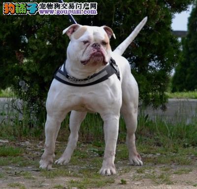 精品赛级美国斗牛犬,公母均有颜色齐全,签署合同质保