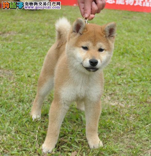 郑州最大的柴犬基地 完美售后带血统证书签活体协议
