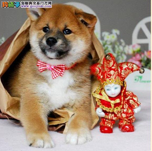 秋田同款漂亮可爱的熊版柴犬,特价出售