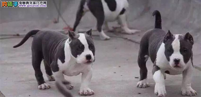 黄埔出售美国恶霸犬 纯种健康 签协议 上门选购更优惠2