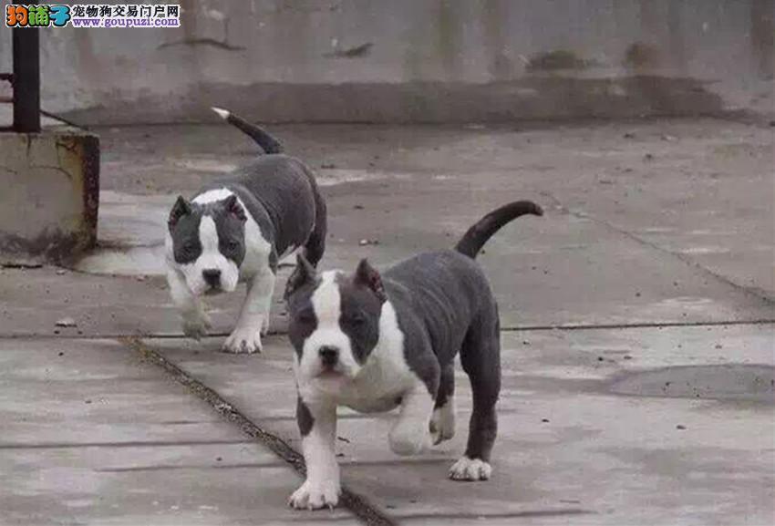 黄埔出售美国恶霸犬 纯种健康 签协议 上门选购更优惠4