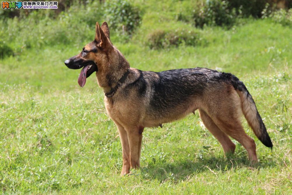 自家养殖纯种昆明犬低价出售签订协议包细小犬瘟热