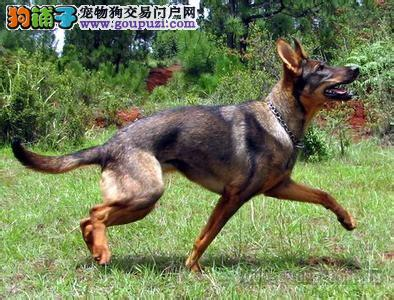 出售多只优秀的昆明犬成都可上门可签订活体销售协议