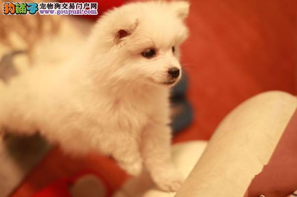 尖嘴银狐犬 纯种 日系 贵阳上门选狗送全套用品