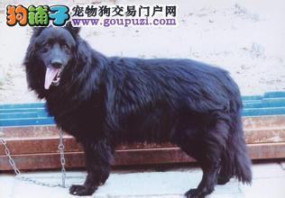 CKU犬舍认证呼和浩特出售纯种比牧微信视频看狗