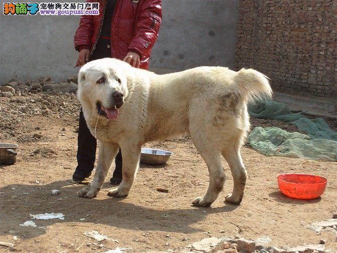 北京精品中亚牧羊犬找新家 CKU认证血统品质第一