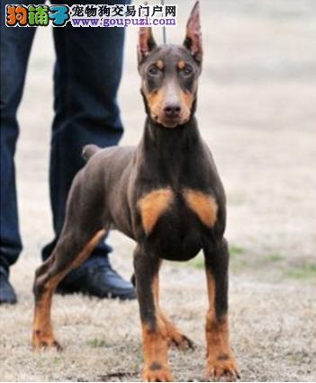 徐州本地繁殖出售杜宾犬幼犬 已剪耳欢迎爱狗人士挑选