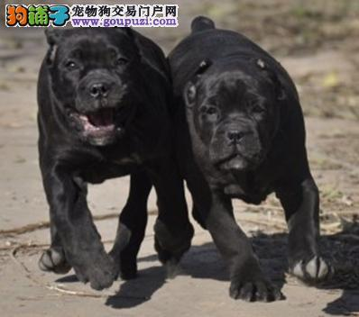 出售高品质卡斯罗幼犬可签订购犬协议