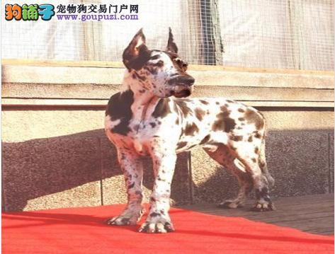 正规犬舍高品质大丹犬带证书均有三证保障1