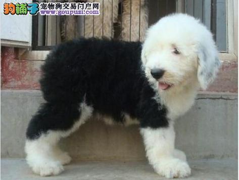 公母均有的上海古代牧羊犬找爸爸妈妈金牌店铺有保障