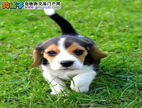 家养比格犬出售,一宠一证视频挑选,签订正规合同