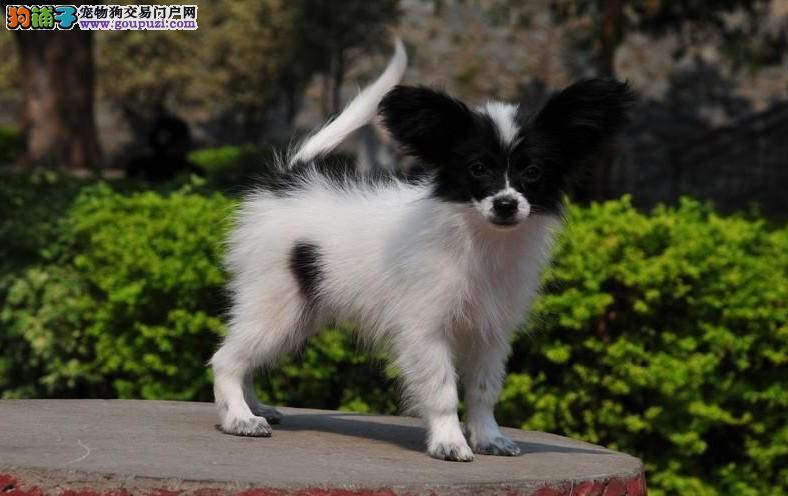 纯种的西班牙蝴蝶犬低价出售30天包退换