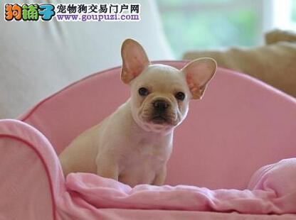 济南出售极品法国斗牛犬幼犬完美品相期待您的光临4