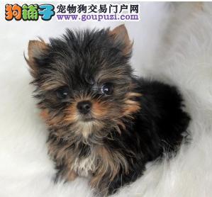 CKU认证犬舍出售纯种约克夏幼犬 终身质保