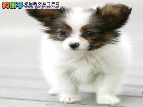 杭州蝴蝶犬价格_杭州蝴蝶犬多少钱_杭州蝴蝶犬图片